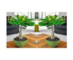 1 Palmier de Hawaï (Brighamia)