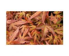 1 Palmier d'acer : Redwine