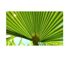 Palmier Trachycarpus Fortunei : 2