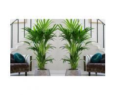 1 palmier Kentia XXL