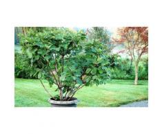 Arbuste de figuier 100-120cm : 2