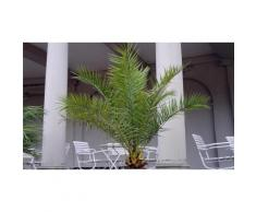 Palmier des Canaries : 4 palmiers des Canaries / Hauteur de 60-70 cm