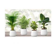 Pack de 4 plantes 25-40 cm : Bananier, palmier nain, palmier Aracea et caféier d'Arabie