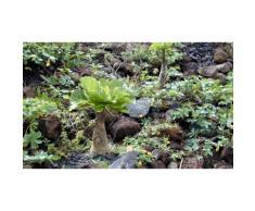 Palmier Hawaïen Brighamia 35 - 40 cm : 1