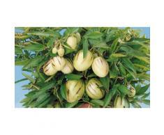 Arbuste fruitier poire et melon : x4