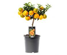 Mandarinier | Citrus Reticulata | Plante d'extérieur | Arbre fruitier | Hauteur 80-85cm | Pot Ø 22cm