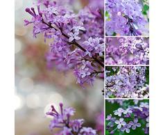 30pcs Violet Fragrant Lilas Arbuste Graines Syringa vulgaris Fleurs semences
