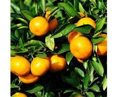 20 Pièces Mandarin Orange Nain Graines Arbre Fruitier Bonsaï Graines Orange Arbre Graines pour la Plantation Extérieure Intérieure