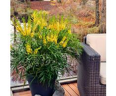Mahonia EurybracteataSoft Caress | Mahonia chinois hybride jaune | Arbuste dornement | Hauteur 25-30cm | Pot Ø 19cm