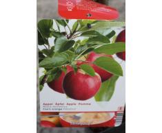 """Arbre fruitier nain pour terrasse - Pommier - Variété """"Cox Orange"""" - Hauteur environ 1 m"""