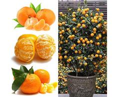 quanjucheer 50 Pcs Orange Agrumes Balcon Jardin En Pot Arbre Fruitier Plantation Kumquat Graine Orange Graine En Pot Arbre Fruitier Graines dorange # 50pcs