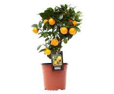 Citrus Mitis « Calamondin » | Oranger | Plante d'extérieur | Arbre fruitier | Hauteur 25-30cm | Pot Ø 12cm