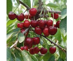 5 Graines de Cerisier Arbre Fruitier envoi sous 48h