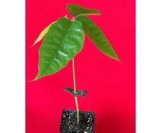 "PLAT FIRM GRAINES DE GERMINATION: Théobroma jaune cacao cacao chocolat arbre fruitier tropical plante en pot 8-13"""