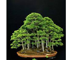 Vente chaude 20 rare beau genévrier bonsaï fleurs en pot bureau bonsaï purifier l'air absorbent les gaz nocifs