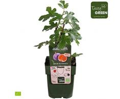 2x Ficus caricaPerretta | Figuier | Arbre fruitier | Hauteur 30-60cm | Pot Ø 12cm