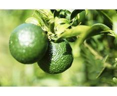 Arbre fruitier de citron bio vert 20 graines pour planter intérieur/extérieur