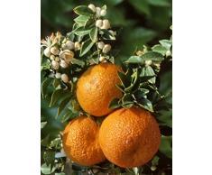 """Arbuste Agrume """"CHINOTTO"""", agrume sur tige"""