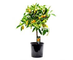 Kumquat   Citrus Japonica   Plante d'extérieur   Arbre fruitier   Hauteur 80-85cm   Pot Ø 22cm