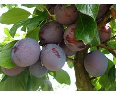 Jean Huchet Plantes - Arbre fruitier Prunier Président 21394