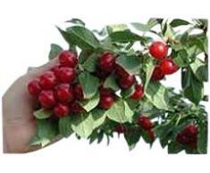 """Arbre fruitier nain pour terrasse - Cerisier - Variété """"Morel"""" - Hauteur environ 1 m"""