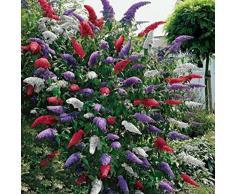 Ncient 20 pcs/ Sac Arbre à Papillons Tricolore - Graines Semences de Arbuste Seed Buddleia Davidii