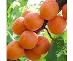 Pinkdose® Davitu 2Pcs / Pack Graines D'abricotier Garden Orchard Green Plants Graines D'arbre Fruitier Comestibles