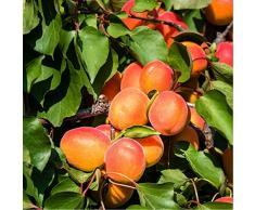 Jean Huchet Plantes - Arbre fruitier Abricotier Précoce de Saumur, Vert 1763