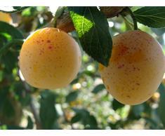 Jean Huchet Plantes - Arbre fruitier Prunier Mirabelle de Nancy 21393