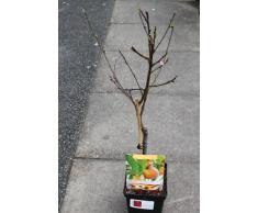 Arbre fruitier nain pour terrasse - Pêche - Hauteur environ 75 cm -