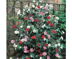 Camélia tricolore - 1 arbuste.