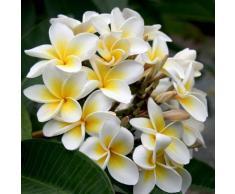 sellify Heirloom 5 Graines Plumeria Arbre Jaune et fleurs blanches Arbuste Graines Plumeria rubra Frangipani T026