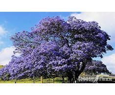 Bleu Violet Jacaranda Jacaranda mimosifolia Arbre Arbuste Heirloom 30 graines en vrac