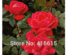 100 Rose Double Knock Out Seeds Landscape Planning - Facile à cultiver des roses Arbuste Rose Graines Bonsai Fleurs et Jardins Plantes Graines