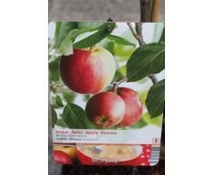 """Arbre fruitier nain pour terrasse - Pommier - Variété """"James Grieve"""" - Hauteur environ 1 m"""