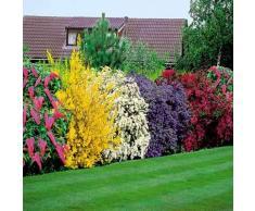 Adolenb Seeds House- Floraison haie, vie haie arbuste arbustes à fleurs plantes de collection semences à feuilles caduques plantes vivaces vivaces paysages ornementaux jardin