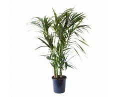 Plante d'intérieur de Botanicly Palmier Kentia Hauteur: 125 cm, 8 pousses Howea Forsteriana - Plantes, graines et bulbes