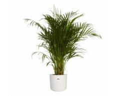 Plante d'intérieur de Botanicly palmier d'Arec en pot de fleur blanc cylindrique comme un ensemble Hauteur: 120 cm Dypsis lutescens - Plantes, graines et bulbes
