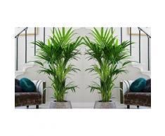 Palmier d intérieur Kentia 90-100 cm : x 2