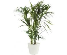 Plante d'intérieur - Palmier Kentia de 120cm en pot blanc gris