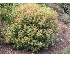 Jean Huchet OSMANTHUS heterophyllus Goshiki C3L Arbuste