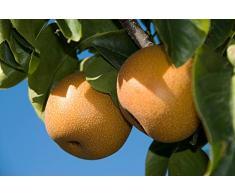 Jean Huchet Plantes - Arbre fruitier Nashi Hosui 585