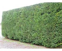 Jean Huchet Plantes - Arbre fruitier Cupressocyparis Leylandi Lot de 100 - 32960