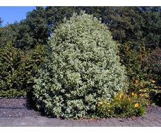 Jean Huchet PITTOSPORUM tenuifolium Irene Paterson C3L Arbuste