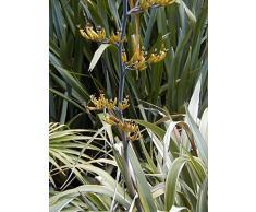 Jean Huchet Phormium cookianum Tricolor C3L Arbuste
