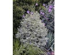 Jean Huchet PITTOSPORUM tenuifolium Variegatum C3L Arbuste