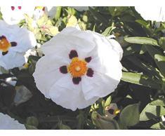 Jean Huchet Cistus Purpureus Alann Frad C3L Arbuste, Blanc Pourpre