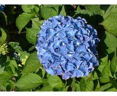 Jean Huchet Hydrangea macrophylla Benelux C3L Arbuste, Rose ou Bleu