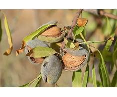 Jean Huchet Plantes - Arbre fruitier Amandier Texas