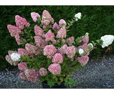 Jean Huchet Hydrangea paniculata Sundae Fraise (r) C3L Arbuste